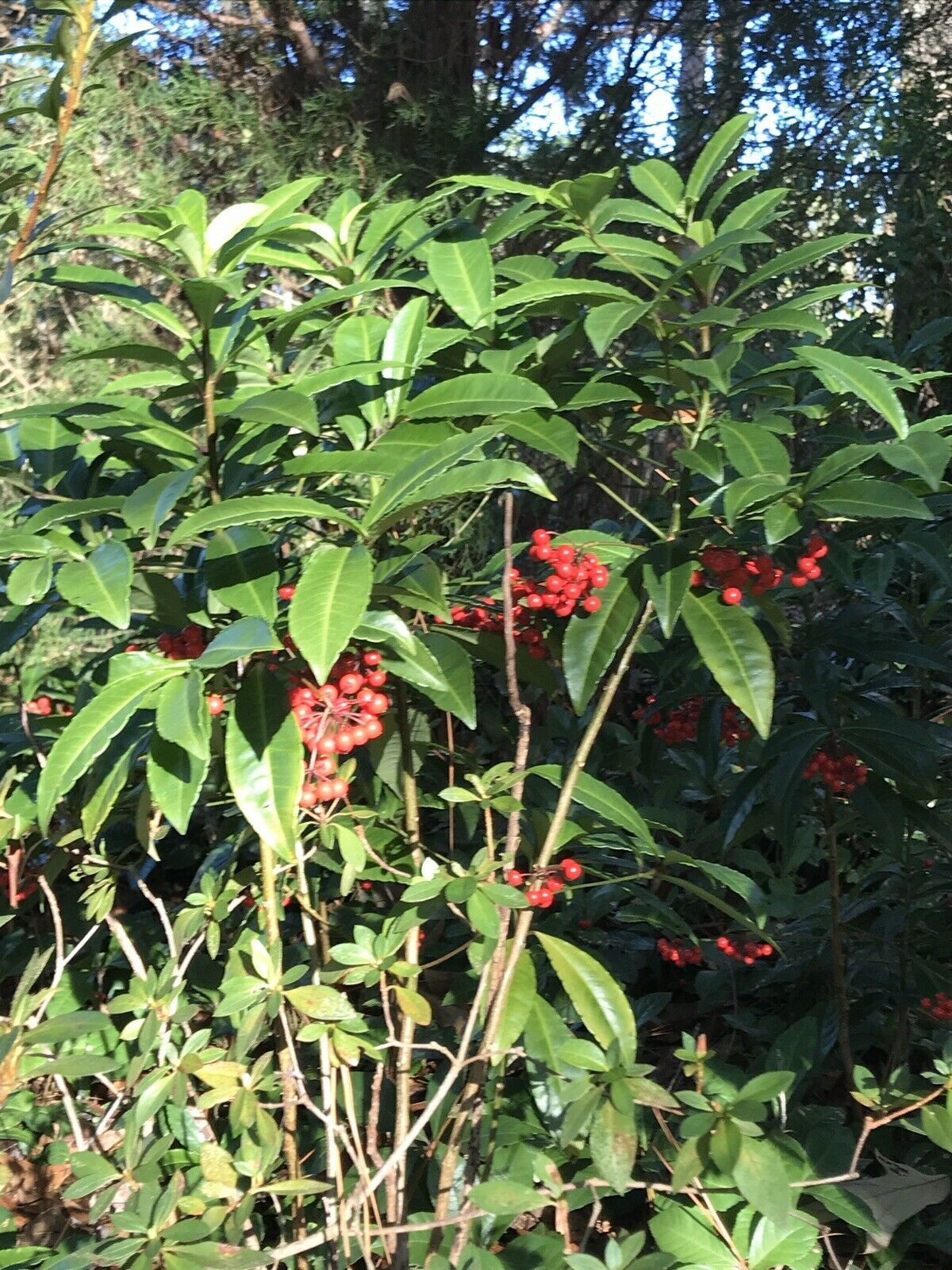 Organic Ornamental Plant About 1-1.5 Ft Tall Coral  Berry   Ardisia crenata