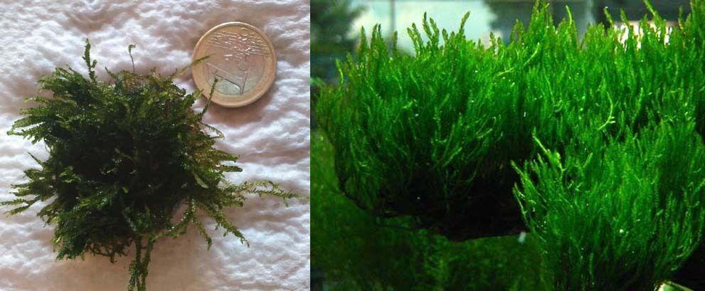 Musgo de acuario Flame moss.Cultivo sumergido.