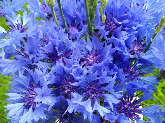Kornblume Blau - Cenataurea cyanus-  ca.500 Samen