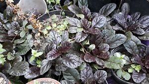 Ajuga-reptans-039-black-scallop-039-in-matured-2-3-years-Pick-up-Cardiff-only