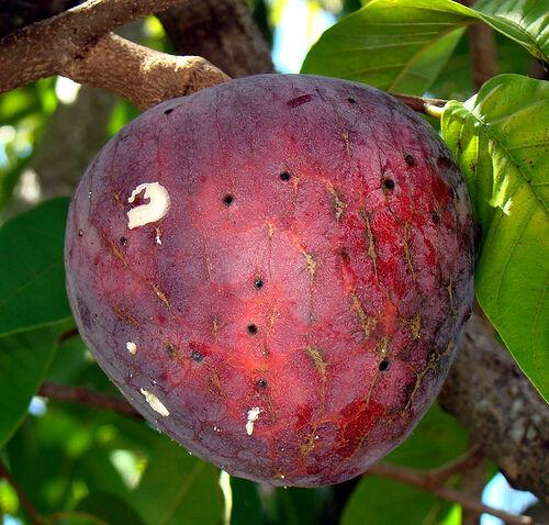 Red Custard Apple Rare 30+SEED Jamaican Apple Annona reticulata * 30+Seeds