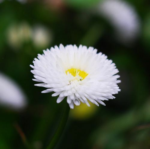 White Daisy Seed 50 Seeds Bellis Perennis Marguerite Flower Garden Seed Hot A228