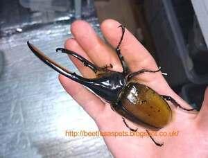 dynastes hercules lichyi the hercules rhino beetle live l1 l2
