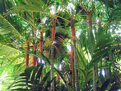 Areca vestiaria Orange Crownshaft Palm 5 seeds
