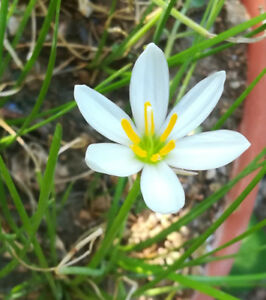 Zephyranthes treatiae florida native fall white flowers grass bulb image is loading zephyranthes treatiae florida native fall white flowers grass mightylinksfo
