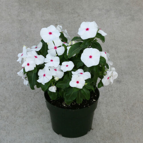 Vinca Seeds Cobra Peppermint 25 Seeds Flower Seeds