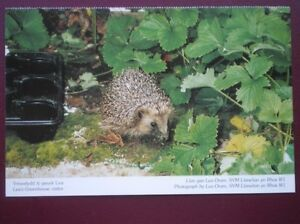 POSTCARD D511 ANIMALS HEDGEHOG  IN LEA039S GREENHOUSE - Tadley, United Kingdom - POSTCARD D511 ANIMALS HEDGEHOG  IN LEA039S GREENHOUSE - Tadley, United Kingdom