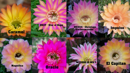 5x echinopsishybride Echinopsis Hybrid Top incroci semi seeds 2