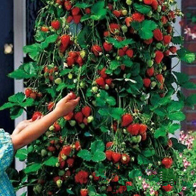 Red 100pcs Strawberry Climbing Strawberry Fruit Plant Seeds Home Garden Cool