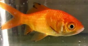 Details about Red Comet Goldfish Live Pond Fish Bulk Buy 11 for £10 - Read  Delivery Areas