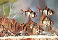 B22263 Fish Peche Romania Constanta Puntius Tetrazona