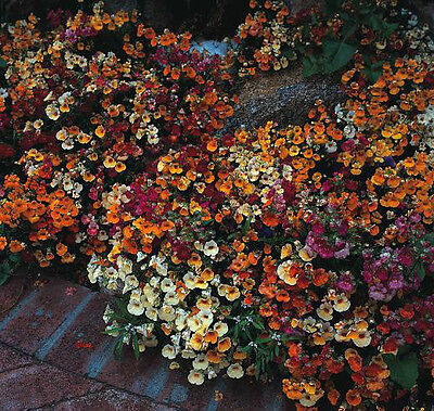 Nemesia Carnival Mix Gorgeous Color Combination 75 Fresh Seeds Free Ship!