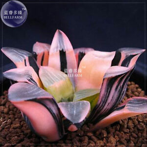 6PCs-Seeds-Haworthia-Hybrid-Pink-Black-Lovely-Bonsai-Home-Garden-Succulent