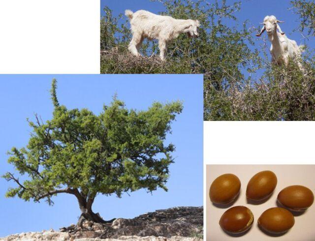 Rarität aus Afrika: 3 Samen Arganbaum (Argania spinosa), wie vor 80 Mio Jahren