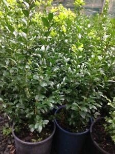 ENGLISH-BOX-in-6-034-pots-25cm-high-Garden-Hedge-Plant-Border