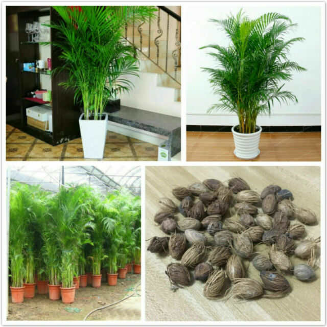 Chrysalidocarpus Lutescens Seeds Home Decoration Areca Palm seeds Indoor Plants