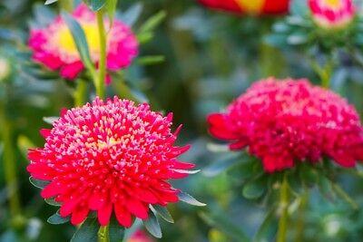 500 seeds Pink pompom-flowered aster