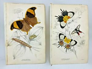 Jardine-Hand-Colored-Engraved-Butterflies-Moths-1884-Plate-23-24