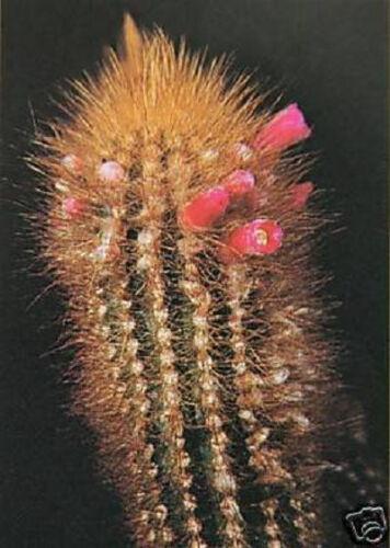 rare columnar flowering cacti cactus seed 100 SEEDS Micranthocereus auriazureus