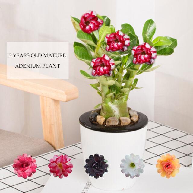 Adenium Obesum Desert Rose Plant Bonsai Rare Double Flower 63 New For Sale Online Ebay