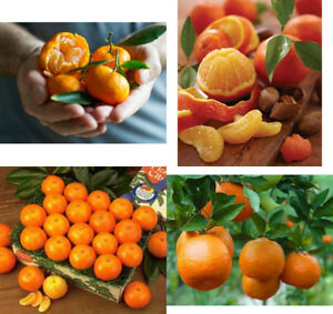 Details About Grafted Tangerine Citrus Trees 32 Tall Satsuma Fallglo Dancy Mandarin Dwarf