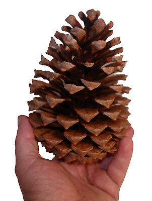 12cm to 16cm Giant pine cones pack of 5