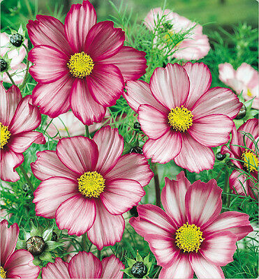 F0139 Cosmos'Candy Stripe' Mix x25 seeds