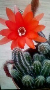 """SystéMatique 3 X Chamaecereus Silvestri Boutures. """"peanut Cactus"""". 5-8 Cm Long. Fleurs Rouges-afficher Le Titre D'origine"""