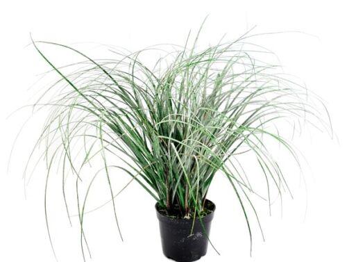 Vosteen Kunstpflanzen /& blumen Nifon Gras getopft beeist grün 55 cm