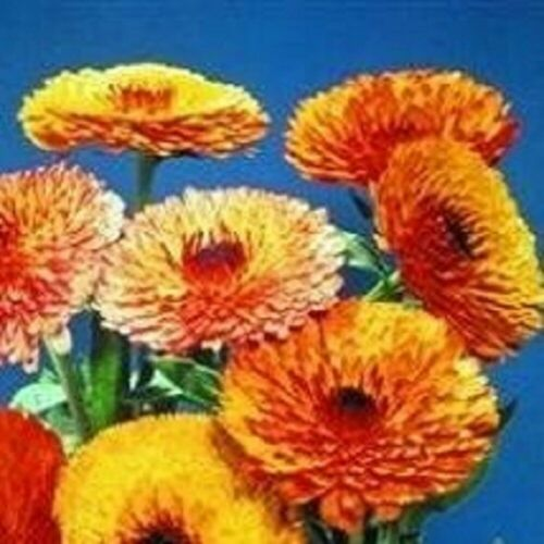 Calendula Touch of Red Mixed 50 Seeds