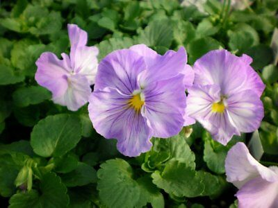 50 Pansy Seeds Delta Cool Water Mix