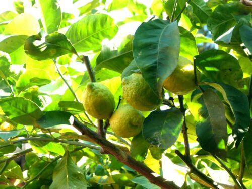 Rare 2kg kilos Citrons de MENTON Bio lemon citrus ---- A LIRE