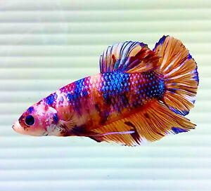 "US SELLER (A-Grade) Male Candy 2.5"" Giant Betta imported from Thailand"