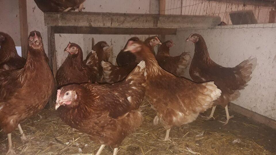 Høns, Lidt rabat ved køb af flere en 10 stk.
