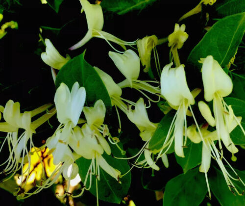 Japanese Honeysuckle Plants- You Get 10 Plants Pastel Yellow and Cream