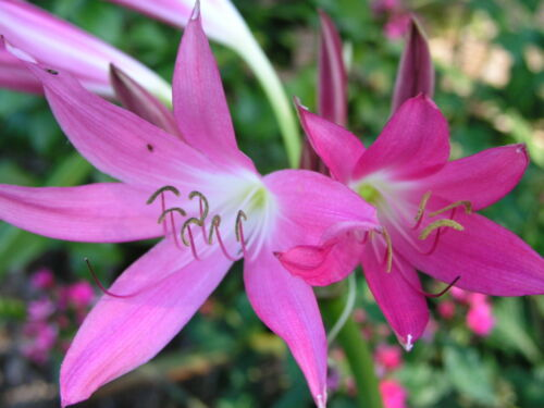 small-size bulb Crinum Lily FREE Shipping Hannibal/'s Dwarf