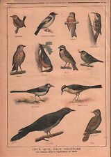 Birds Oiseaux Troglodyte Gobe-Mouche Linotte Sitelle Coucou 1899 ILLUSTRATION