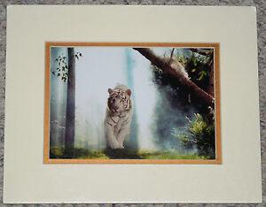 SIEGFRIED-amp-ROY-The-Mirage-LAS-VEGAS-White-Tiger-034-The-Wild-034-Photograph-amp-Program