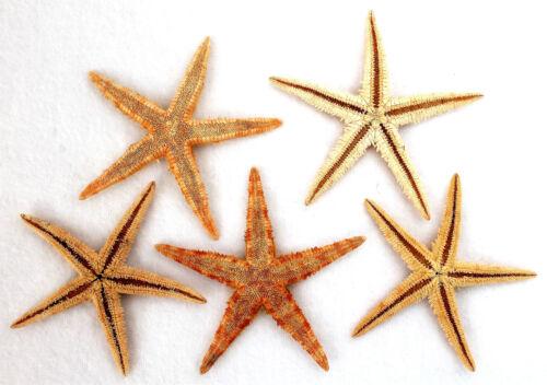 5 Seesterne ca 7-10 cm Seestern Deko Fischernetz echte flache Seesterne