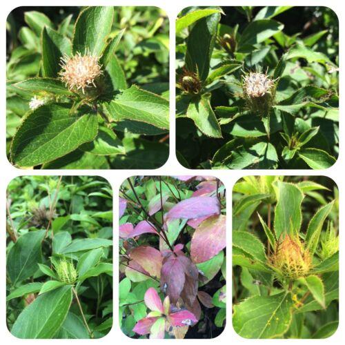 Atractylodes macrocephala Bai zhu importantes tcm-plante précieux salive herbe