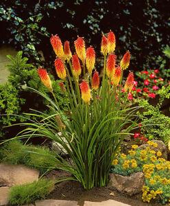 Fackellilie-Samen-Bienenfreundlich-50-Stueck-Raketenblumen-mehrjaehrig
