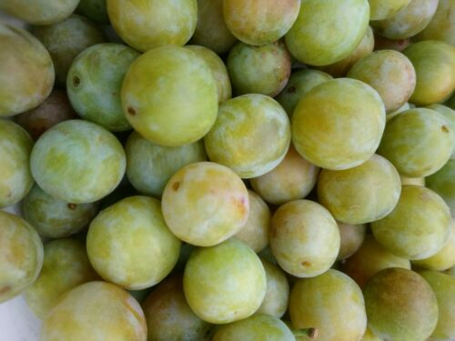 900 gms FRESH FROZEN WILD  FROM OUR FIELDS GREENGAGE PLUMS  immune system boost
