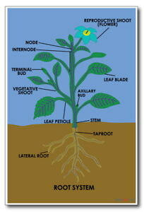 174289 Root System Classroom Science Decor LAMINATED POSTER FR