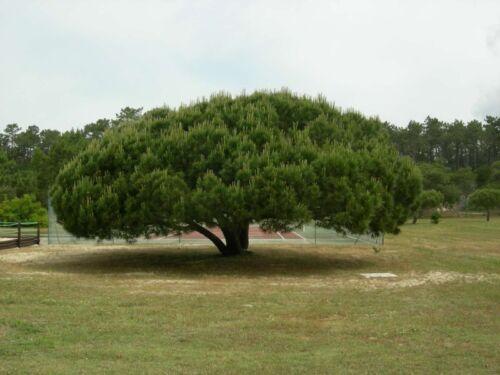 STONE PINE Pinus Pinea 5,10 SEEDS