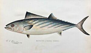 1900 RARE Antique DENTON FISH Print BONITO Sarda sardar VERY NICE CHROMO L@@K!