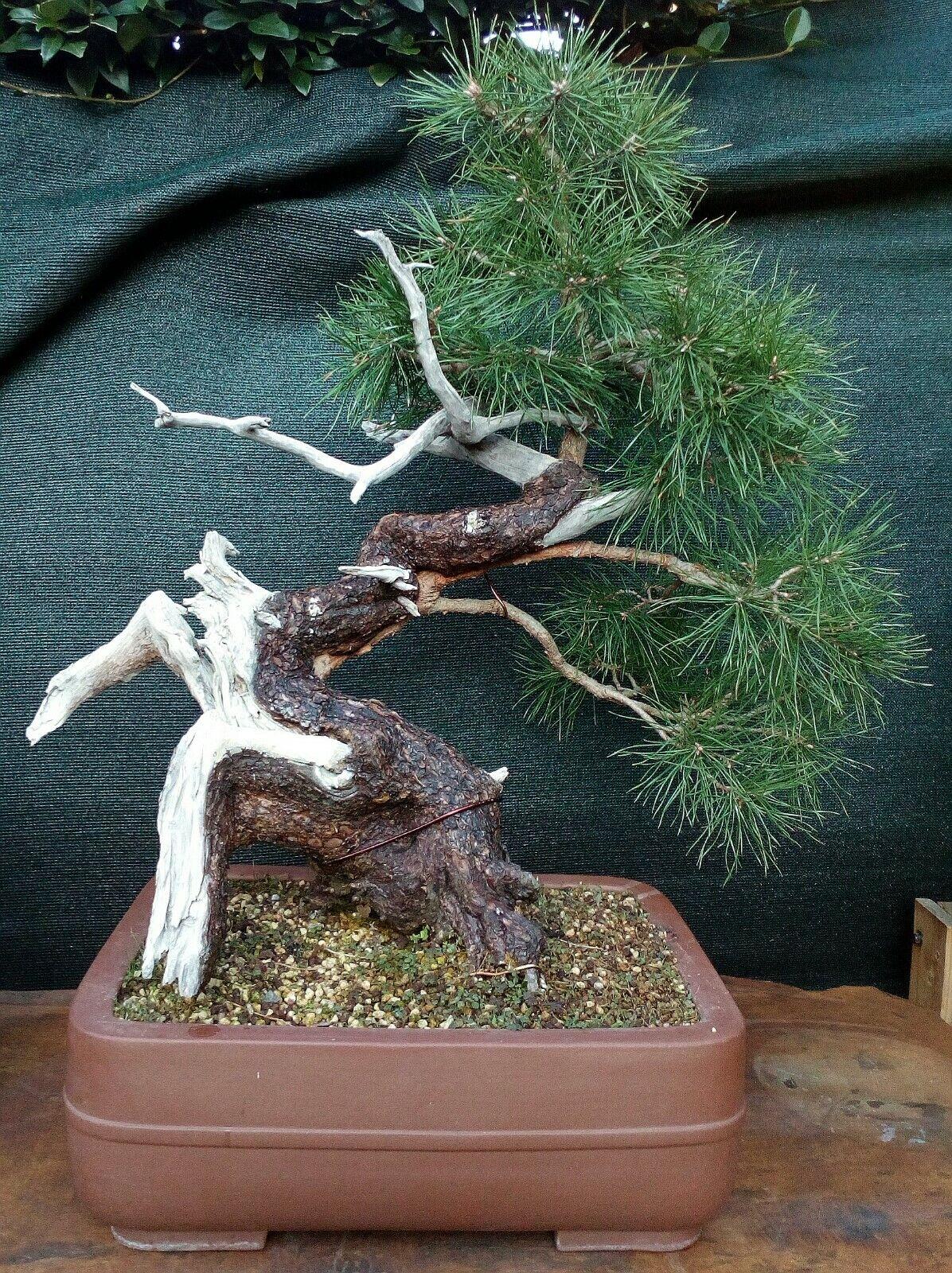 Bonsai a tecnica tanuki di Pino silvestre H. 70
