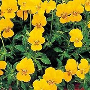 Viola-Yellow-Perfection-50-Seeds-BOGO-50-off-SALE