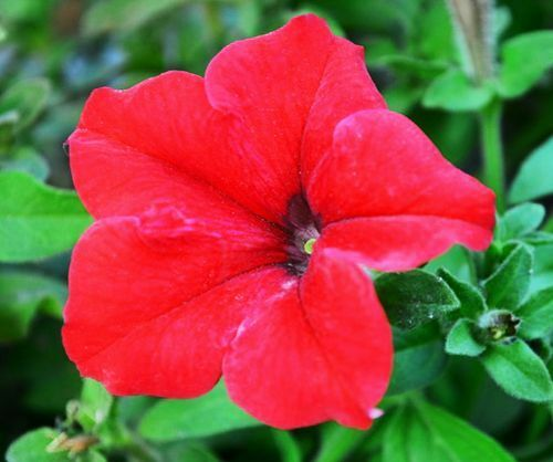 Petunia Seed 60 Seeds Red Petunia Hybrida Beautiful Flower Garden Seeds Hot A167
