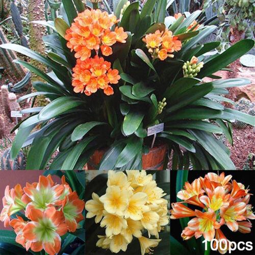 Home 100Pcs Clivia Seeds Planting Fragrant Potted Bonsai Decor Flower
