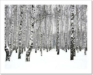 G Trunks Of Birch Trees Art Print Home Decor Wall Art Poster